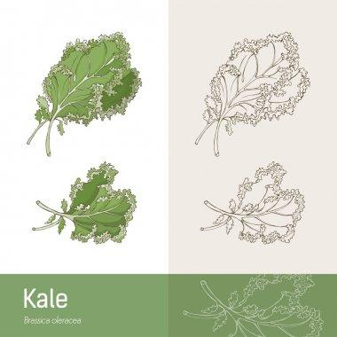 Kale cabbage botanical concept