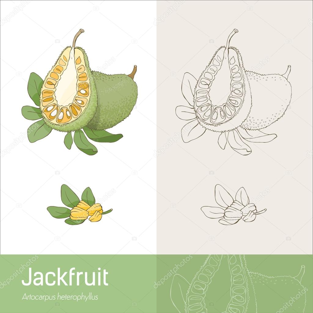 Áˆ Jackfruit Stock Cliparts Royalty Free Cartoon Jackfruit Vectors Download On Depositphotos This plant will be shipped bare root. https depositphotos com 103548184 stock illustration jackfruit section fruit with leaves html