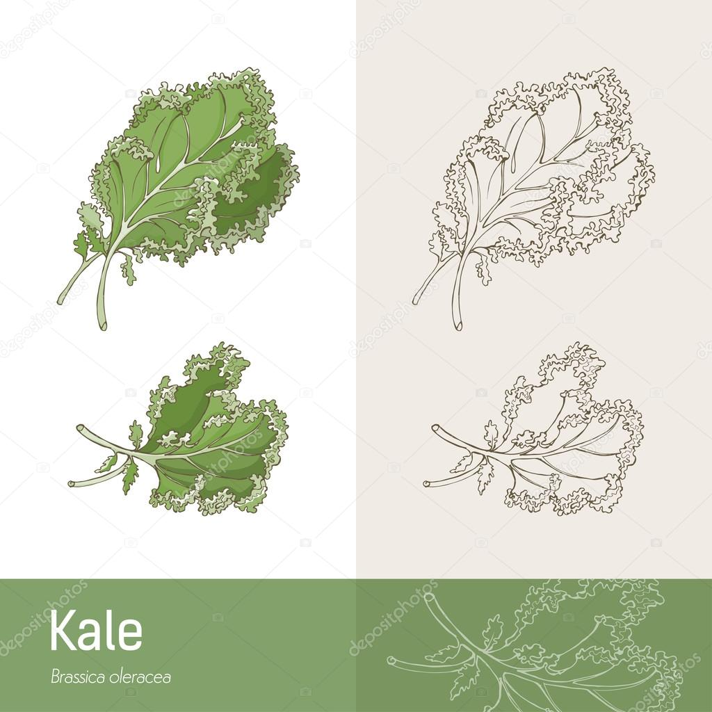 Kale cabbage healthy eating concept