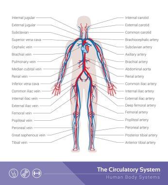 The circulatory or cardiovascular human system
