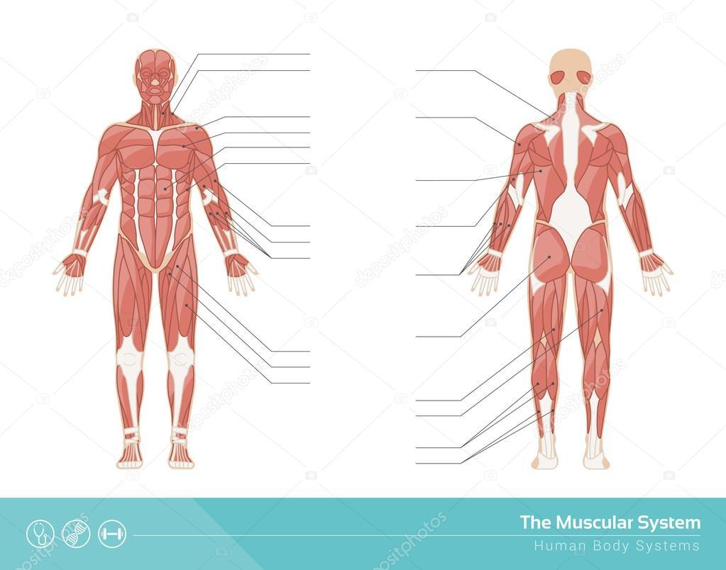 El sistema muscular humano — Vector de stock © elenabs #104388192