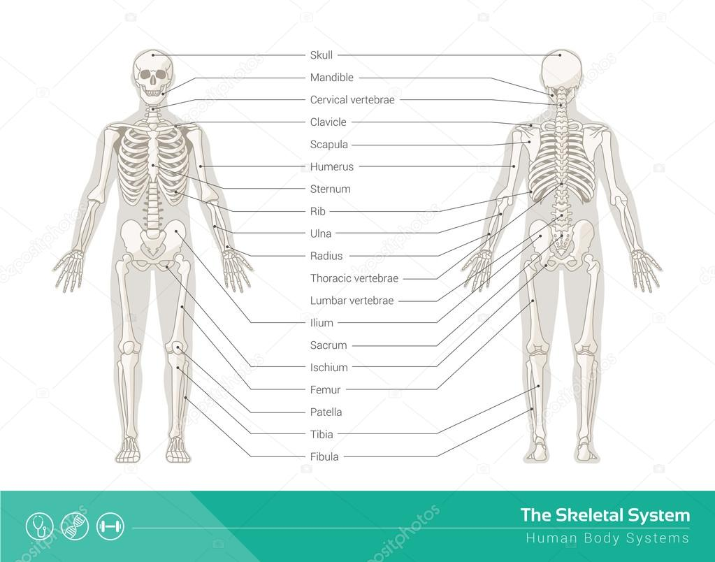 The skeletal system stock vector elenabs 104388250 the human skeletal system vector illustrations of human skeleton front and rear view vector by elenabs ccuart