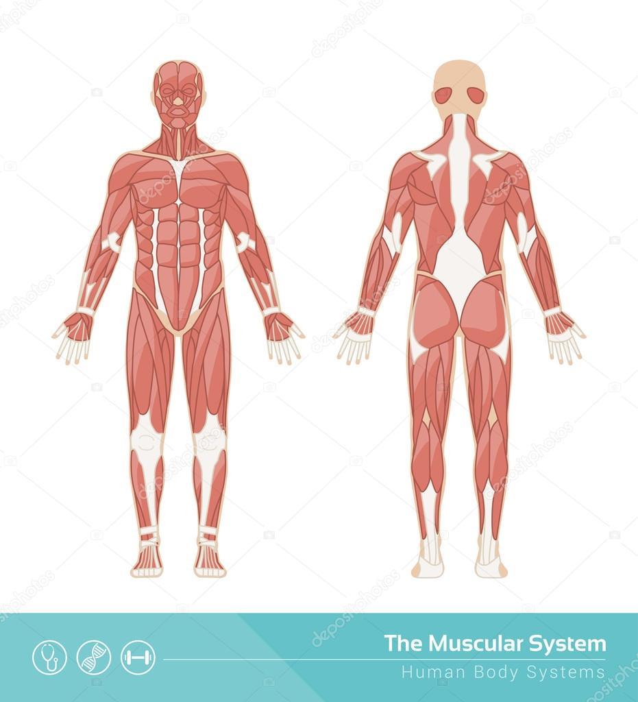 El sistema muscular humano — Archivo Imágenes Vectoriales © elenabs ...