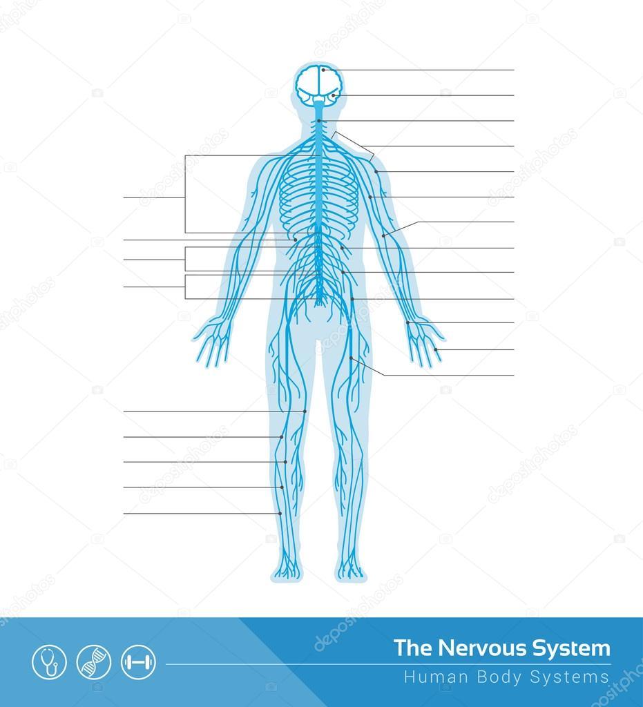 Das menschliche Nervensystem — Stockvektor © elenabs #104389580