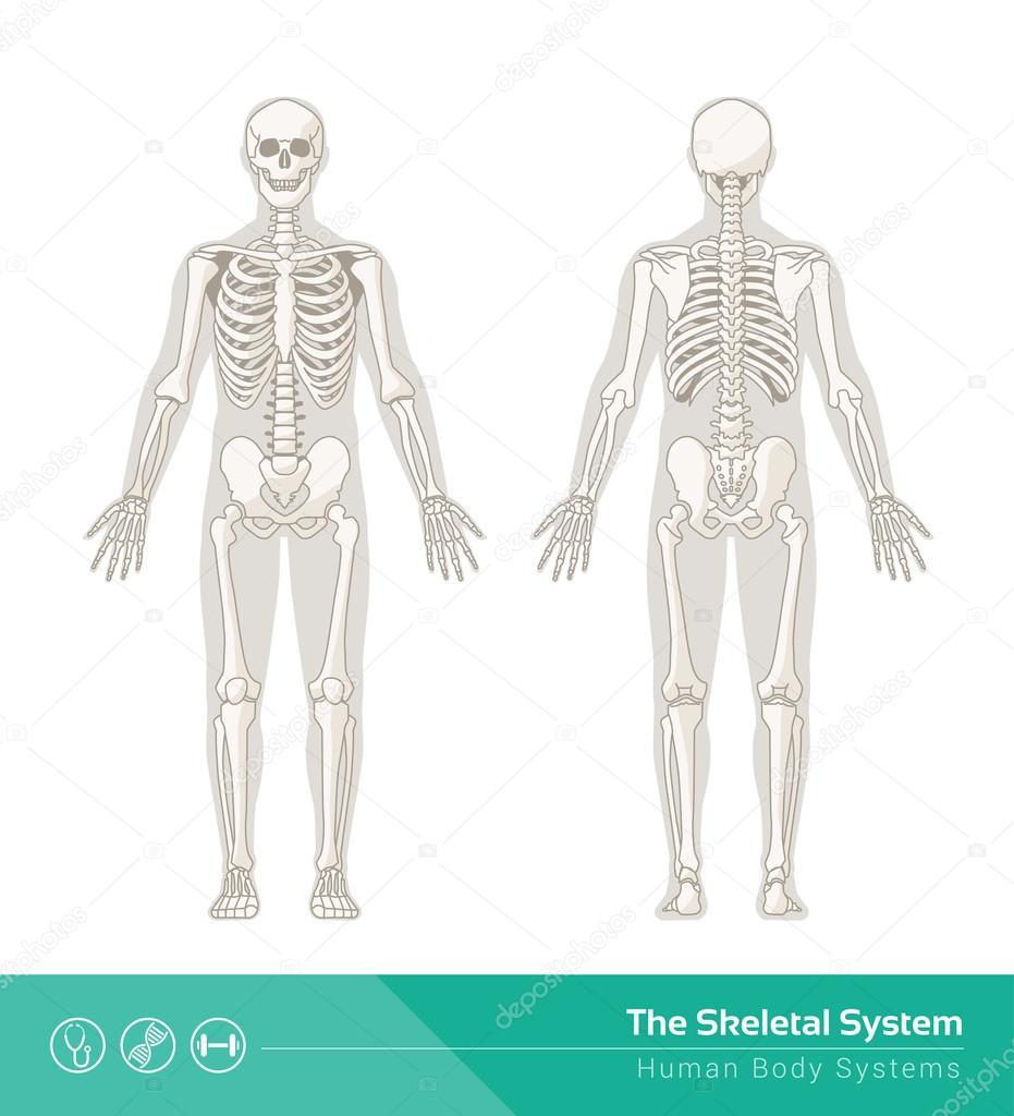 El sistema esquelético humano — Vector de stock © elenabs #104389654