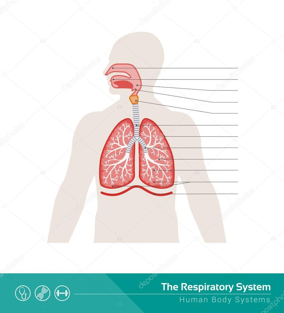 The Human Respiratory System Stock Vector Elenabs 104389906