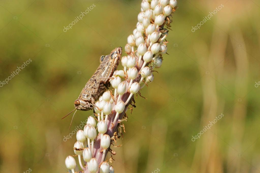 brown insect grasshopper