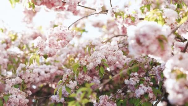 Weeping cherry tree and blue sky. Pink sakura flower, Cherry blossom, Himalayan cherry blossom swaying in wind closeup background in Thailand
