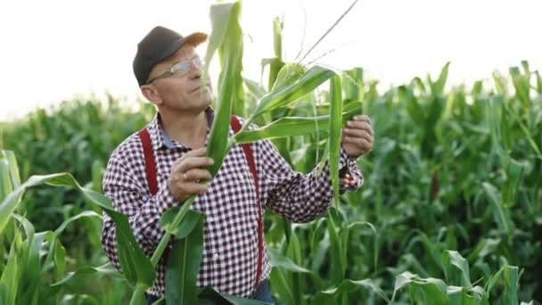 Zemědělské produkty z kukuřice. Farmář kontroluje sklizeň na poli. Mužská ruka zkoumá mladé kukuřičné rostliny. Farmář drží v ruce mladé kukuřičné listy. Kukuřice kukuřice Zemědělství Přírodní pole