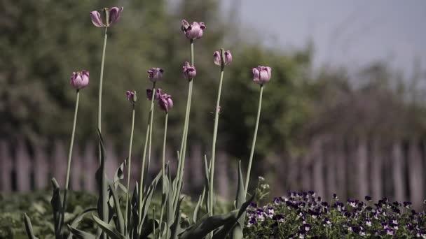 Krásné fialové květy tulipánů macešky kymácí