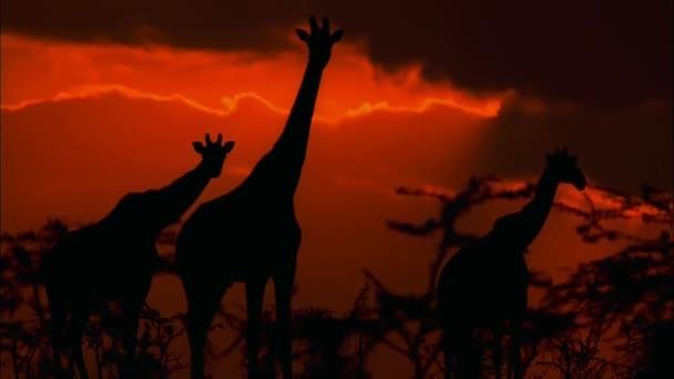 Giraffes Walk on the Savannah at Sunset