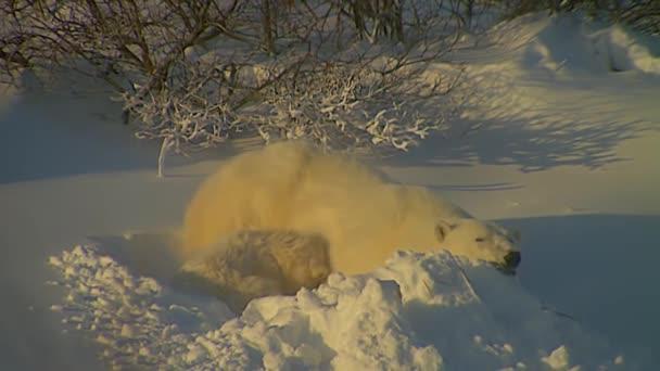 Adult Female Polar Bear and Her Cub
