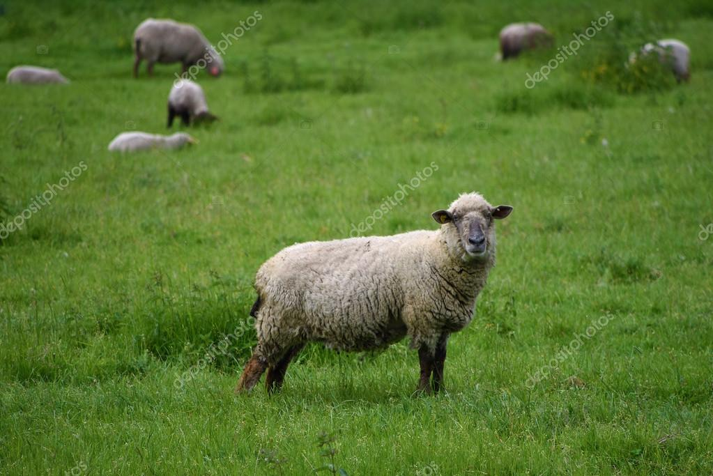 [Obrazek: depositphotos_111727040-stock-photo-shee...meadow.jpg]