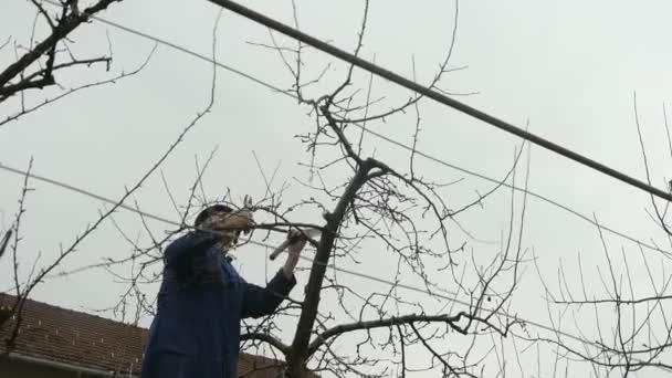 Zahradník prořezávání ovocných stromů