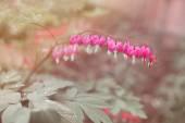 Fuchsiově květy ve tvaru srdce. Dicentra spectabilis nebo zlomené srdce v zahradě