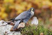 Dravý pták Sokol stěhovavý