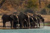 Una mandria di elefanti africani