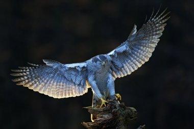 Goshawk with open wings