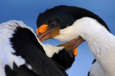 Courtship portrait of Imperial Shag