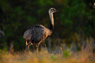 Emu ostrich walking in grass