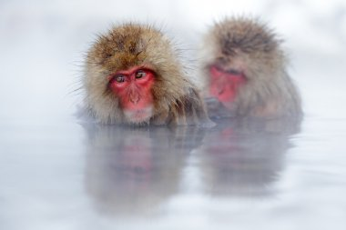 Monkeys Japanese macaque
