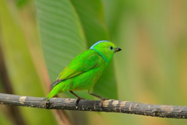 Golden-browed Chlorophonia from Costa Rica