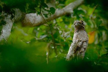Common Potoo on a perch