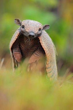 Southern Naked-tailed Armadillo