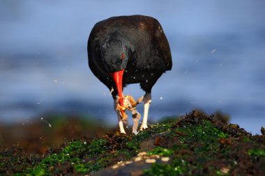 Blakish oystercatcher with oyster