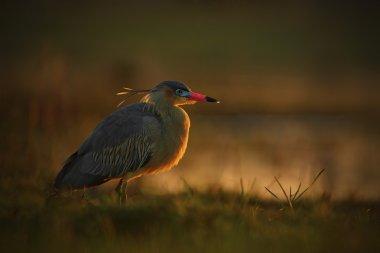 Whistling Heron bird with evening sun