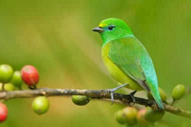 Blue-naped Chlorophonia form Colombia