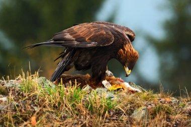 Golden Eagle, feeding