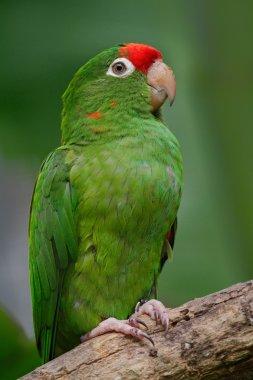 Beautiful green parrot Finsch's parakeet