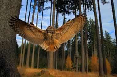 Flying Eurasian Eagle Owl with open wings in forest habitat, wide angle lens photo stock vector