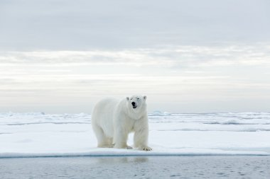 Big polar bear on drift ice