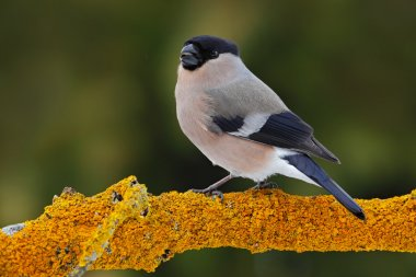 Female grey songbird Bullfinch