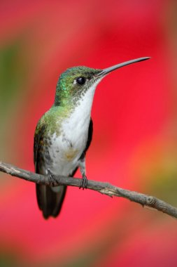 Small himmngbird Andean Emerald