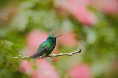 Green hummingbird Blue-chinned Sapphire
