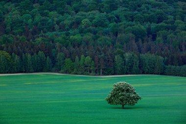 Solitary chestnut tree,
