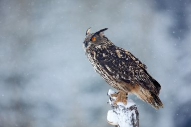 Big Eurasian Eagle Owl