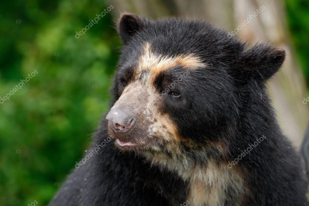 Portrait of Malayan Sun Bear