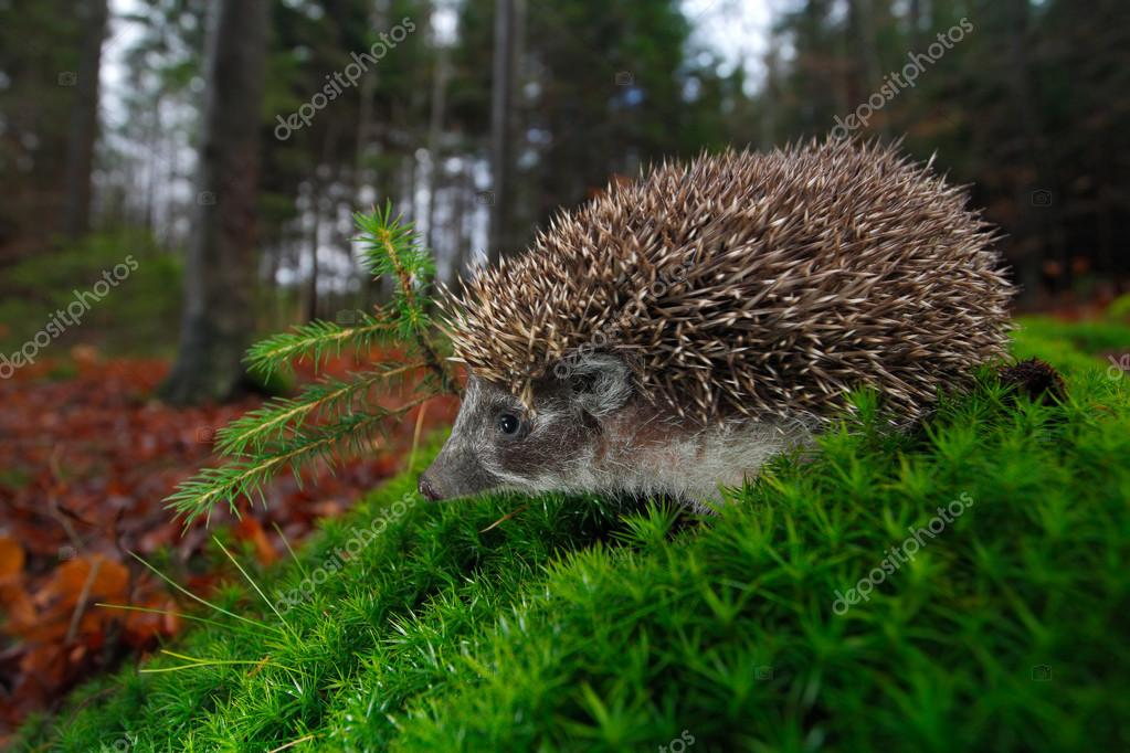 European Hedgehog on a green moss