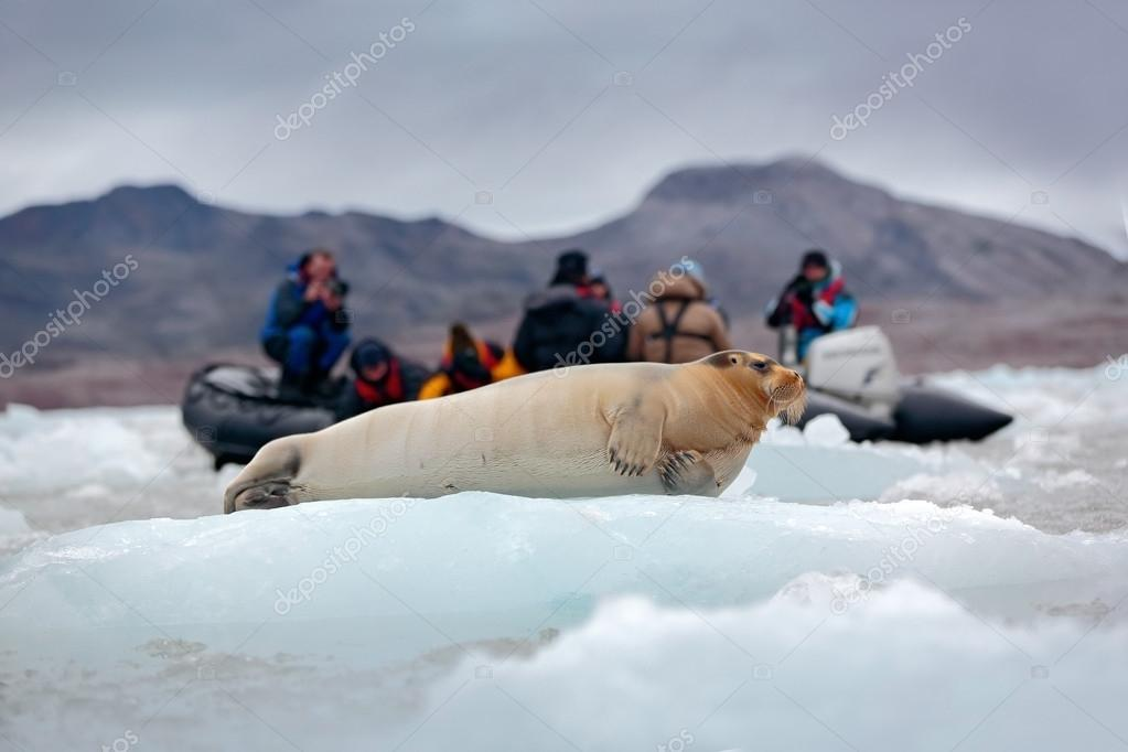 Bearded seal on blue and white ice