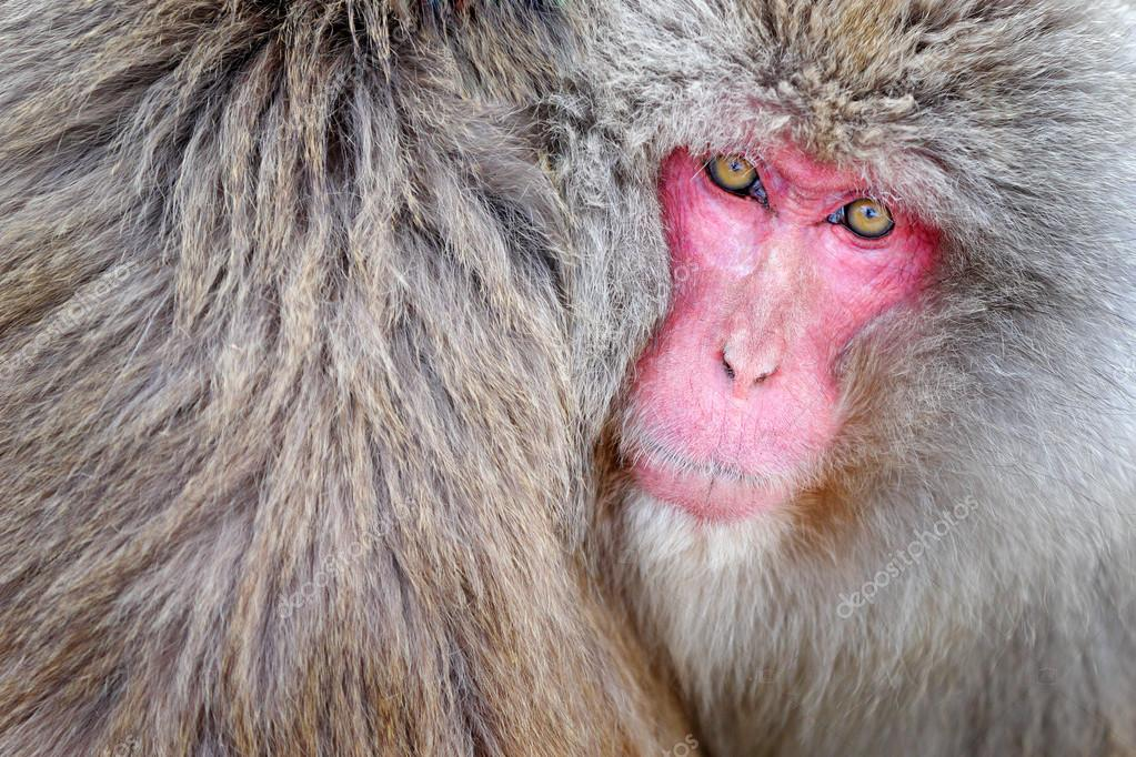 Monkey Japanese macaque