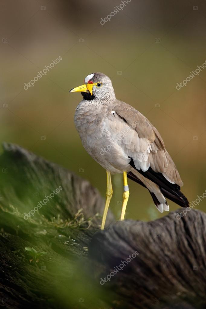 African bird Wattled Lapwing