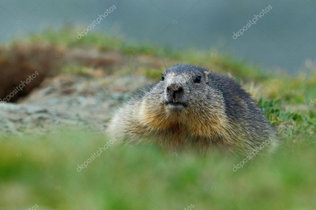 Cute fat animal Marmot
