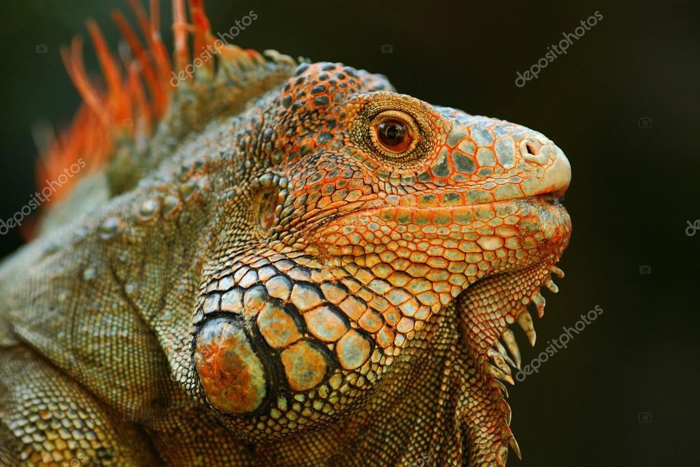 Portrait of orange iguana