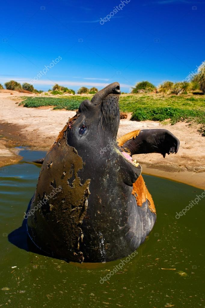 Female of Elephant seal