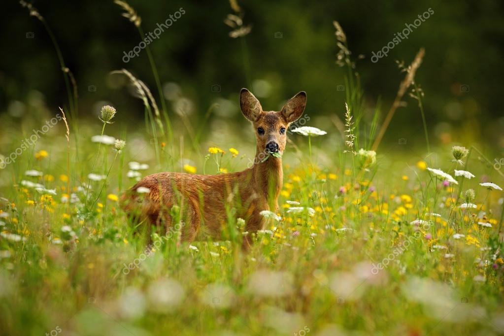 Roe deer chewing green leaves