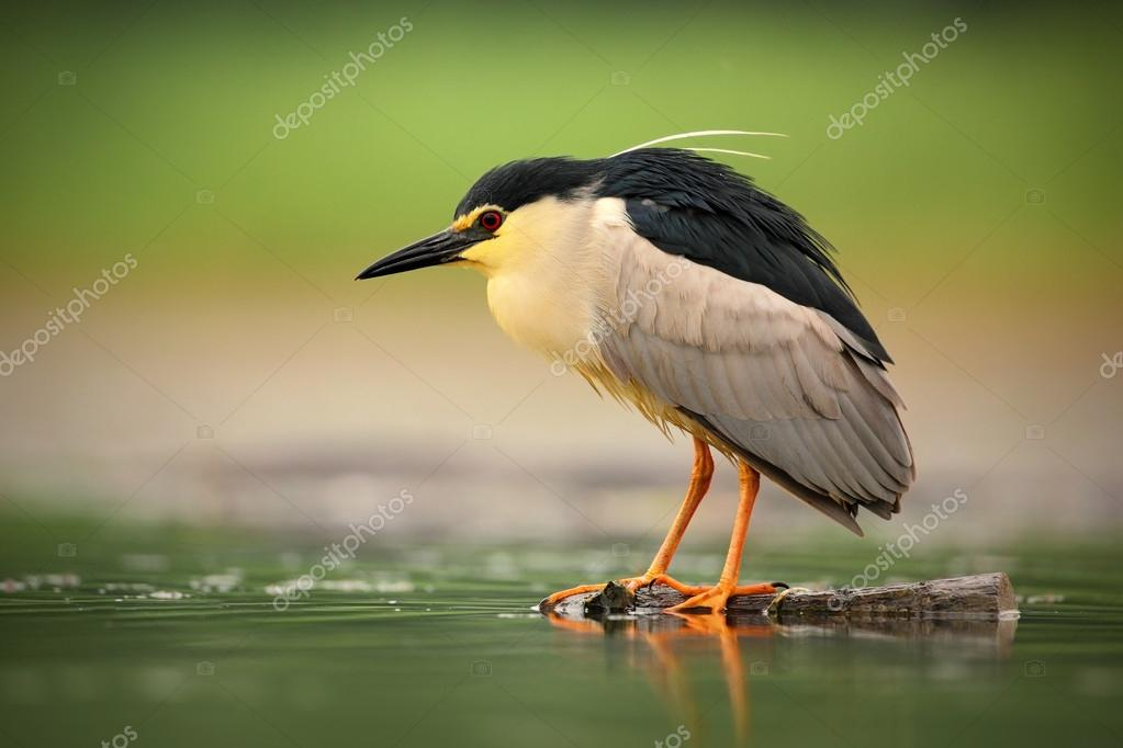 Night heron sitting in the water